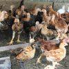 Pastured EggとFree range Eggの違いとは?卵の質を決める放し飼いの実際