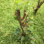 【農業初心者向け】果樹の剪定で知っておきたい重要な3つのポイント