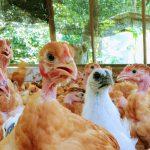 若鶏、ブロイラー、地鶏、銘柄鶏の違いを解説します