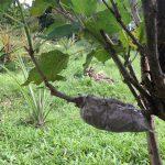 マルベリーの木で挿し木・取り木の実践