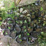 [1か月経過]挿し木・取り木をしたマルベリーの根が発達してきたので植え替えしたよ!