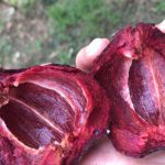 マンゴスチンの栄養価「キサントン」はビタミンEよりも強い抗酸化物質!