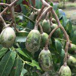 熱帯フルーツ★ケドンドンの味・栄養・食べ方