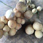 ドゥク、ランサー、ドゥクランサーという3つの熱帯フルーツの違いと味・栄養・食べ方を紹介!