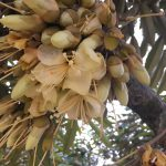 ドリアンの花から実が大きくなるまでの成長観察