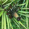 パイナップルの増やし方と定植方法