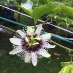 パッションフルーツの栽培方法