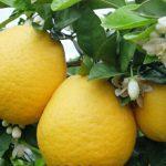 7月が旬のフルーツ「ジューシーオレンジ」はまるで甘いグレープフルーツ♪